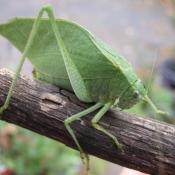 The Greater Anglewing is one of many katydids heard in Ohio.  It's song is more a series of clicks than the typical cricket-like chirp.