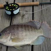 Tilapia are native to Africa but are the most important species for fish farming worldwide.