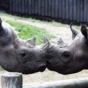 Conservation of rare animals, such as these black rhinos, is a key mission of modern zoos.  Zoos worldwide track the genetic history of animals to ensure diversity among captive breeding populations.
