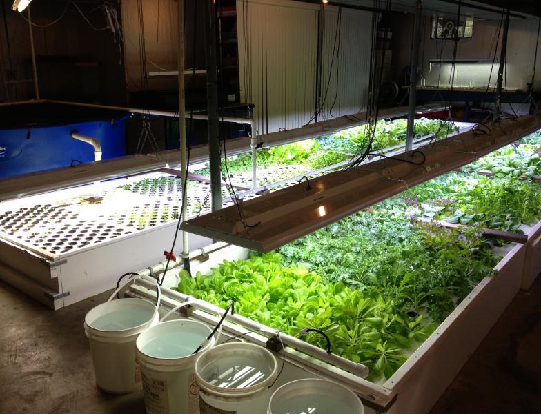 wksu news green vegetables thrive in an ashtabula basement garden