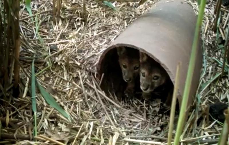 WKSU News: Exploradio: Coyote documentary is an inside look at