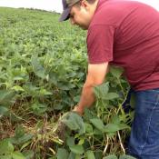 Haley says before he sprayed his soybean field with Roundup, the weeds were higher than the soy leaves. Since his soy beans are genetically modified to resist the herbicide, he doesn't have to worry about killing his crop.