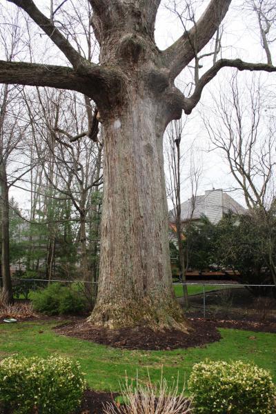 Wksu News Exploradio Tracking Ohios Champion Trees