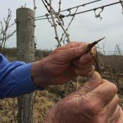 "Dry, brittle vines are dead and will produce no fruit this season, but Tony Debevc of Debonne Vineyards in Madison says wine lovers shouldn't panic. """"You're not going to see any price increases because the worldwide supply of wine is going to cover that. What we're going to see is some regional varieties that aren't going to be available in a year or two down the road. The white wines of the Grand River Valley and the red wines of the Grand River Valley are going to be in a little bit of short supply."""